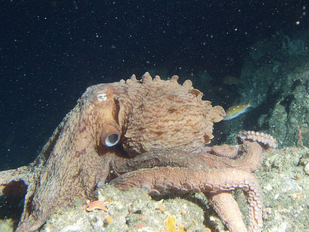 Photo of giant pacific octopus