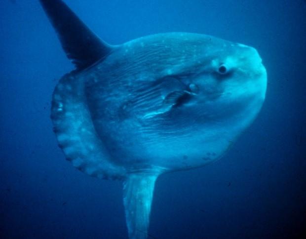 Photo of Mola mola ocean sunfish