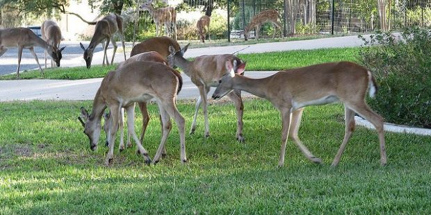 Photo of deer in Austin, Texas