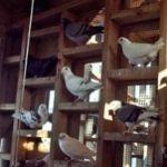 2000 pigeons