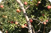 Apples #2 2013