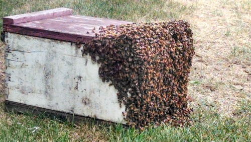 Bees at Conways 51514