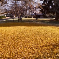 Other Matters: The Gingko Drops