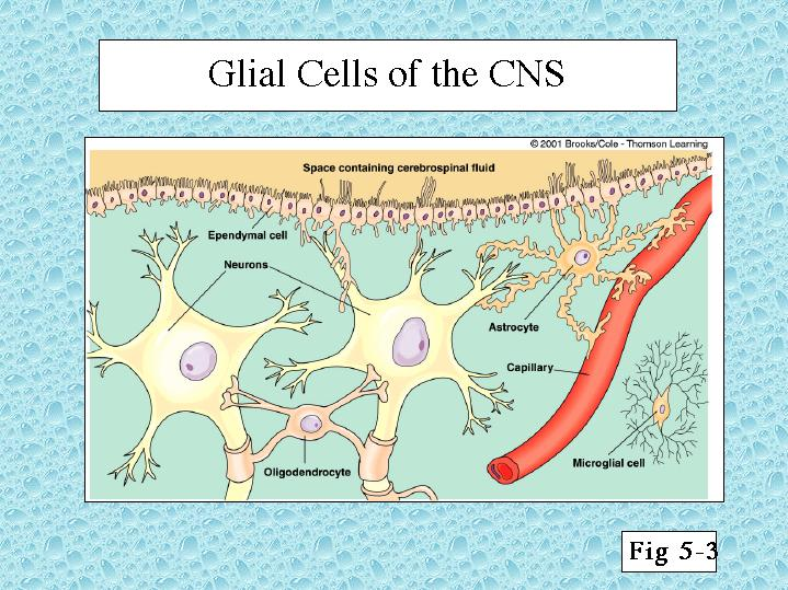 Glial Cells of the CNS