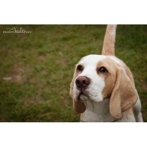 Medium Crop Of Do Beagles Shed