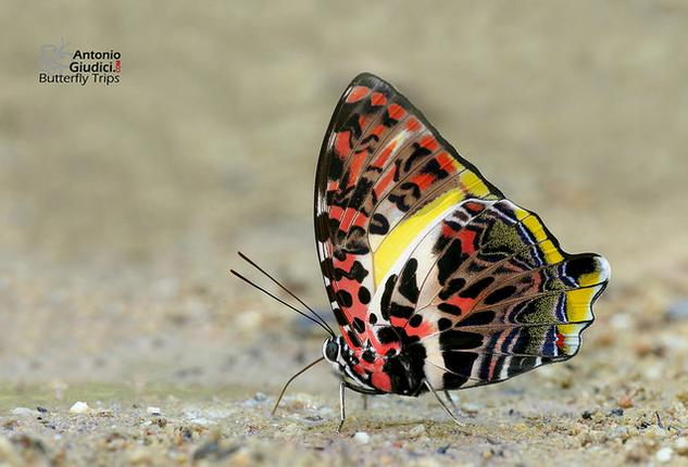 glorious begum butterfly