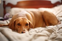 USMI | Estrogen Responsive or Spay Incontinence in Dogs