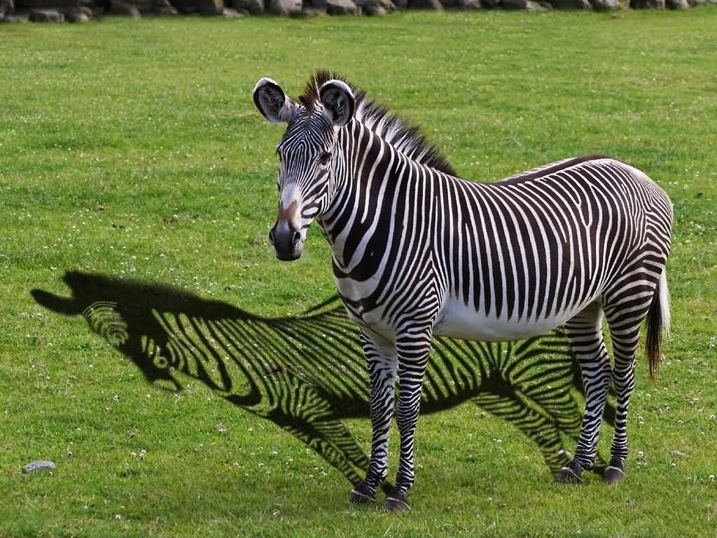 Feeling Low Quotes Wallpaper 27 Most Funny Zebra Pictures