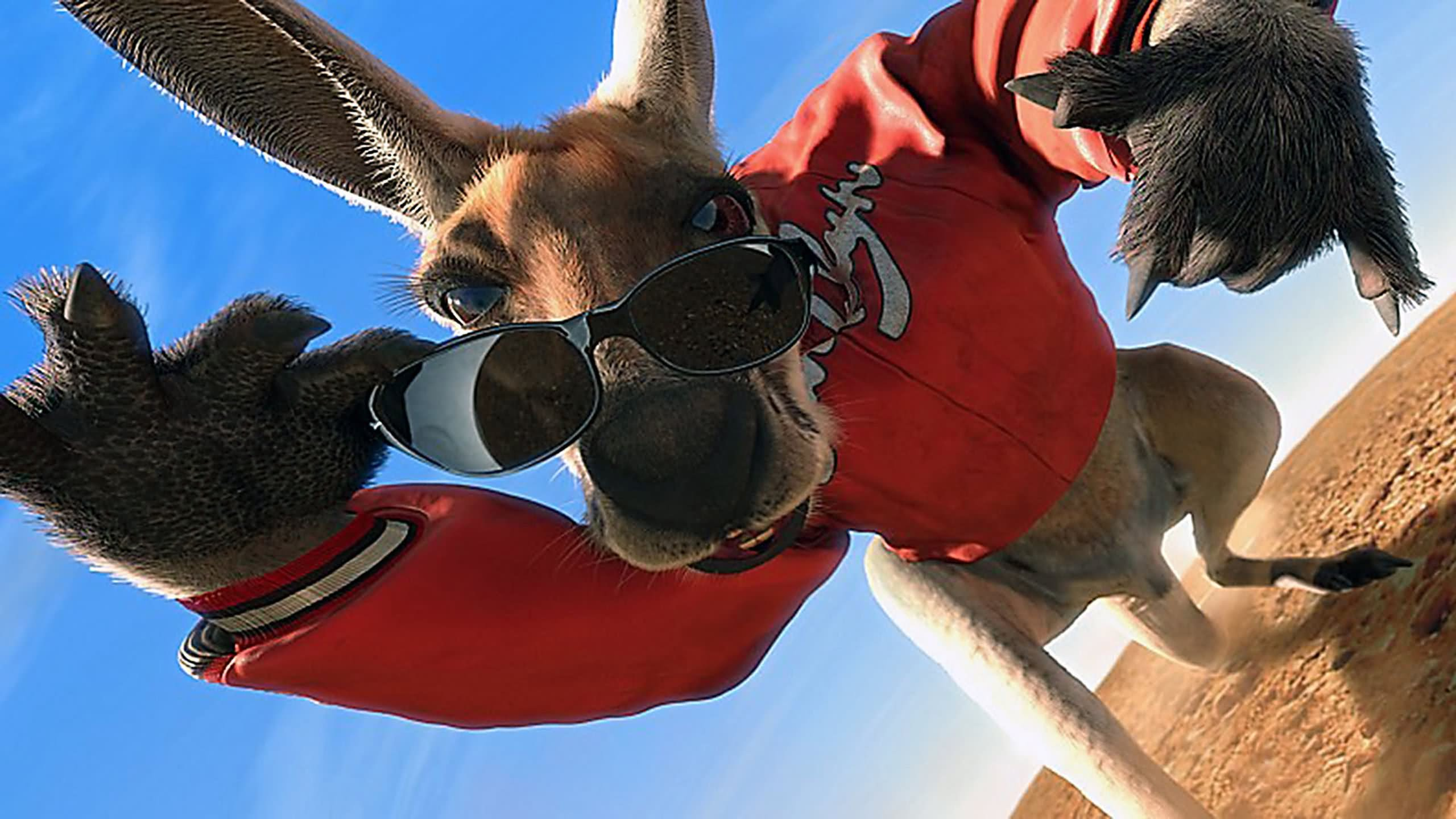 Cartoon Girl Hd Wallpaper 15 Very Funny Kangaroo Pictures