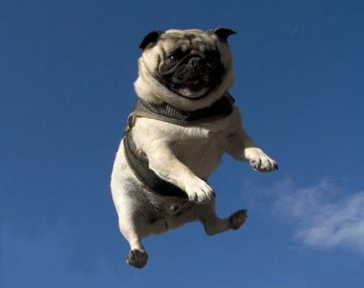 Cute Pug Wallpaper Cartoon 30 Funny Jump Pictures And Images Gallery