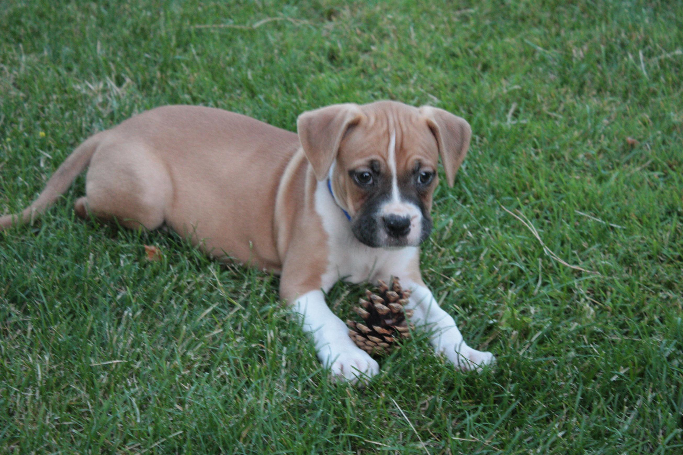 32 Most Beautiful Boxer Puppy Pictures And Images