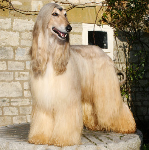 Fox Animal Wallpaper 17 Very Beautiful Afghan Hound Pictures