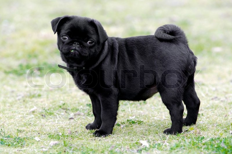 Sad Cute Boy Wallpaper 40 Beautiful Black Pug Dogs Pictures And Images