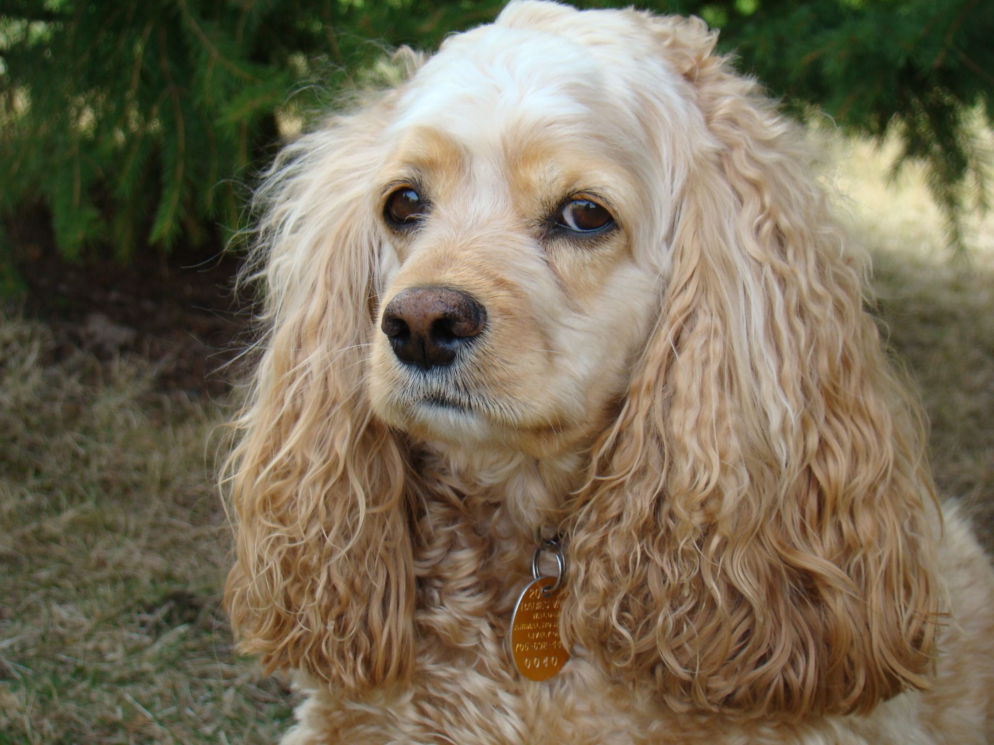 Cute Lemon Wallpaper 20 Most Beautiful Cocker Spaniel Dog Pictures And Images