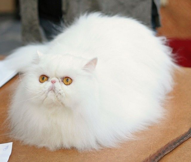 Cute Nail Art Wallpaper 31 Most Beautiful Persian Cat Pictures And Photos