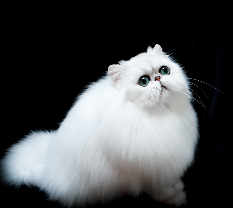 Cute Nail Art Wallpaper 35 Very Best White Persian Cat Pictures And Images