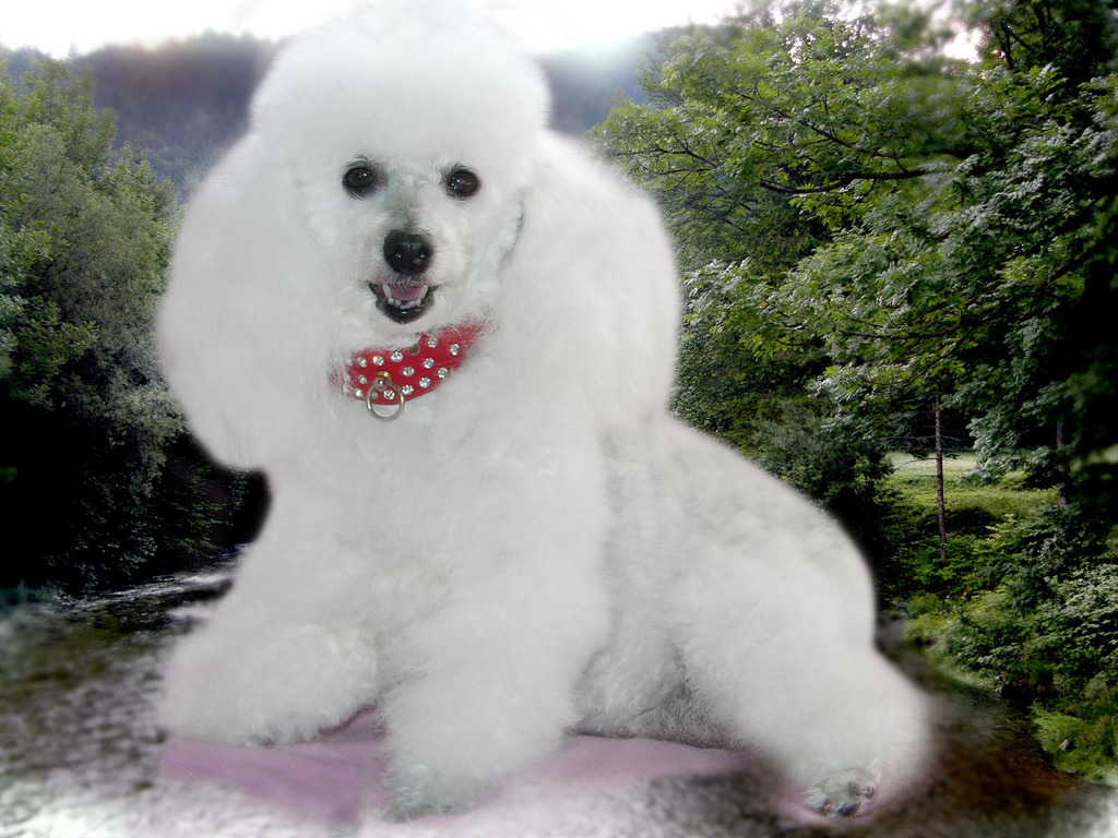 Cute Nail Art Wallpaper 44 Very Cute Poodle Puppy Pictures And Images