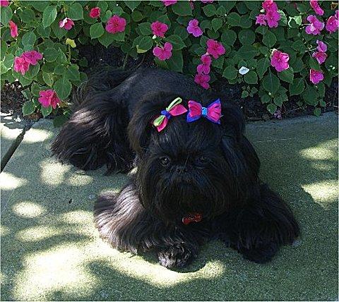 Cute Shih Tzu Puppies Wallpaper 25 Very Best Black Shiih Tzu Pictures And Photos