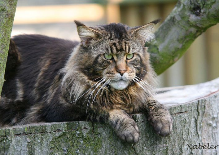 Cute Chat Wallpaper For Whatsapp 31 Wonderful Maine Coon Pictures And Photos