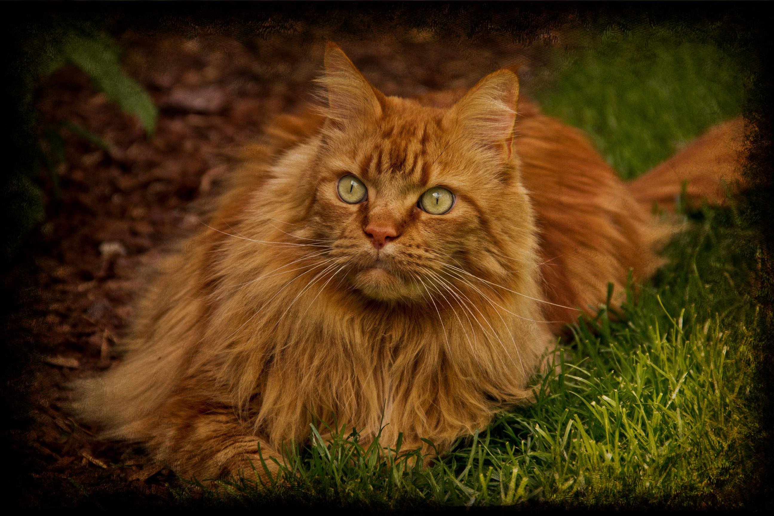Cute Little Kitten Desktop Wallpapers 28 Beautiful Orange Maine Coon Cat Pictures And Photos