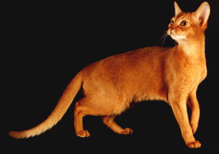 Cute Chat Wallpaper For Whatsapp 38 Most Beautiful Red Abyssinian Pictures