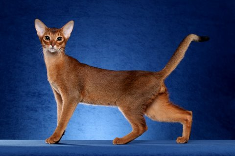 Cute Cat Face Wallpaper 38 Most Beautiful Red Abyssinian Pictures