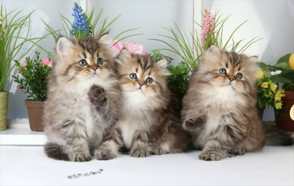Cute Chat Wallpaper For Whatsapp 41 Very Cute Persian Kitten Pictures And Images