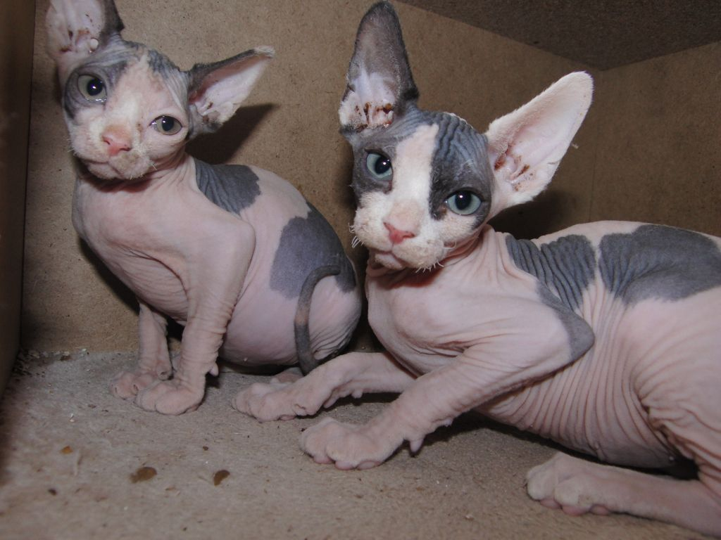 Cute White Kittens With Blue Eyes Wallpaper 48 Very Cute Sphynx Kitten Pictures And Photos