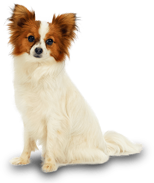 Cute Nail Art Wallpaper 13 Most Beautiful Papillon Dog Photos And Pictures