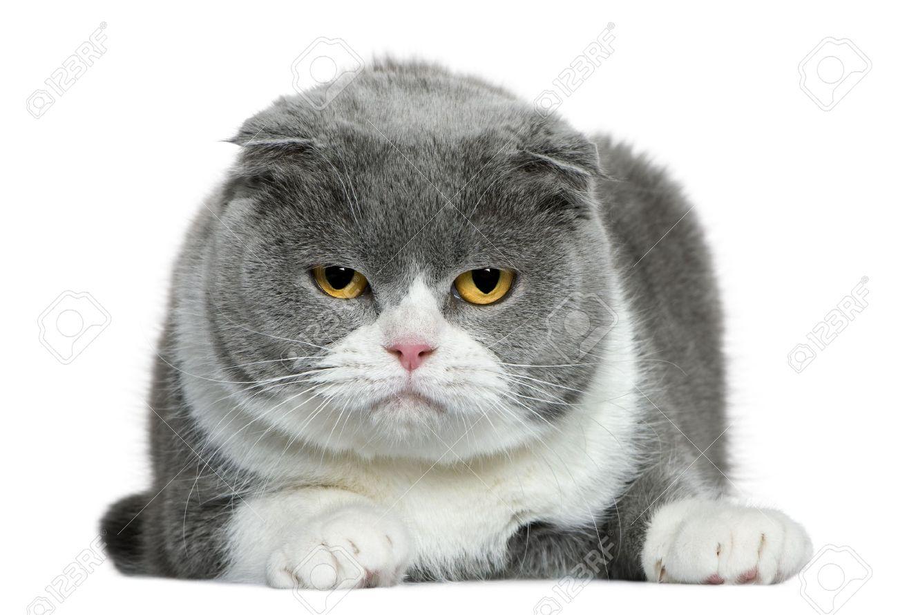 Beautiful Scottish Fold Cat