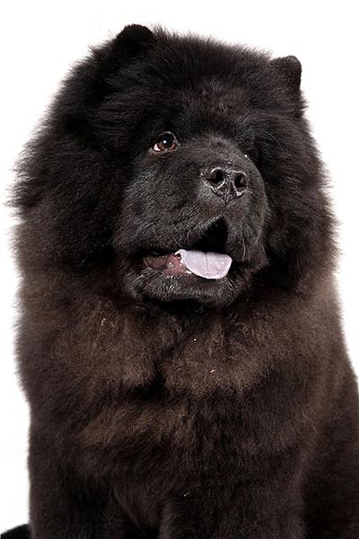 Cute Sleeping Puppy Wallpaper 30 Most Amazing Black Chow Chow Dog Pictures And Images