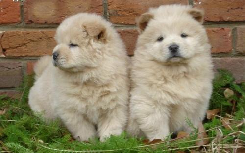 Cute Fluffy Dogs Wallpaper 25 Most Amazing White Chow Chow Dog Pictures And Photos