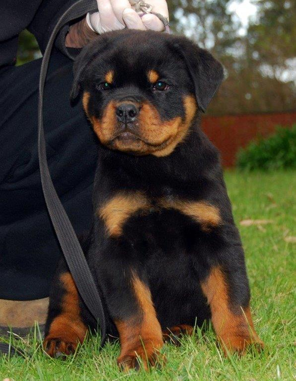 Cute Rottweiler Puppy Wallpaper 40 Very Cute Rottweiler Puppy Pictures And Images