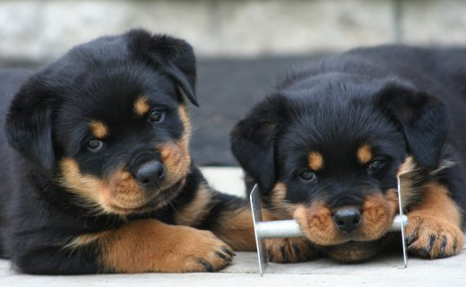 Cute Sleeping Puppy Wallpaper 40 Very Cute Rottweiler Puppy Pictures And Images