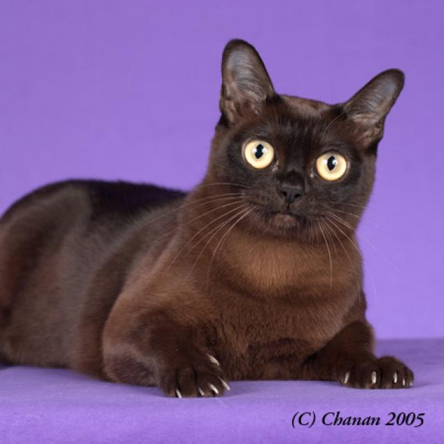 Domestic Animals Wallpaper 31 Very Beautiful Burmese Cat Photos And Pictures