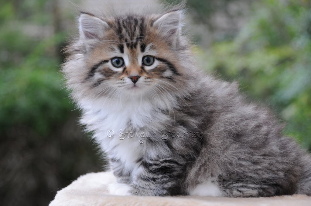 Lps Wallpaper Cute 25 Very Cute Siberian Kitten Pictures And Images