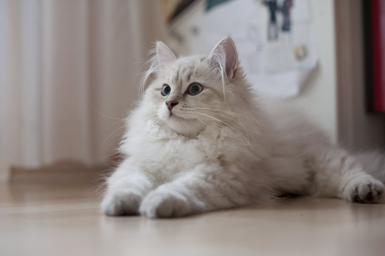 Cute Little Gray Cat For Wallpaper 25 Very Cute Siberian Kitten Pictures And Images