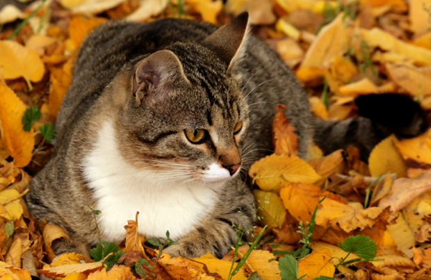 Fall Kittens Wallpaper 40 Most Beautiful American Shorthair Cat Pictures And Photos