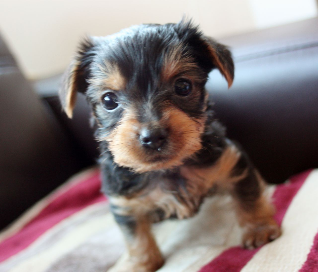Cute Yorkie Wallpaper 50 Very Cute Yorkshire Terrier Puppy Pictures And Photos