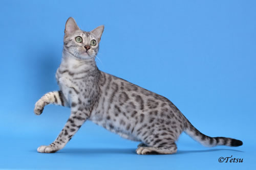 Laughing Wallpaper With Quotes 30 Very Beautiful Bengal Cat Photos And Pictures