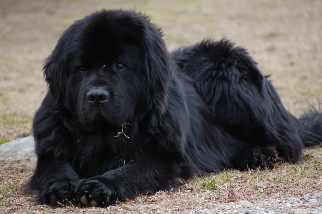 Black newfoundland dog sitting
