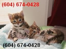 Cats Arizona Free Classified Ads