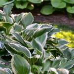 Hosta Growing Tips