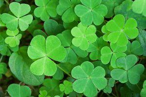 Green Animal Wallpaper Shamrock Plant Aspca