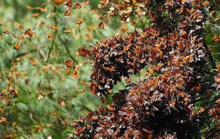 Overwintering-Monarchs-CC-Pablo_Leautaud
