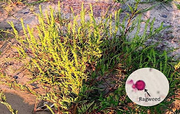First Ragweed Pollen of the 2016 Season Sighted Asthma Center