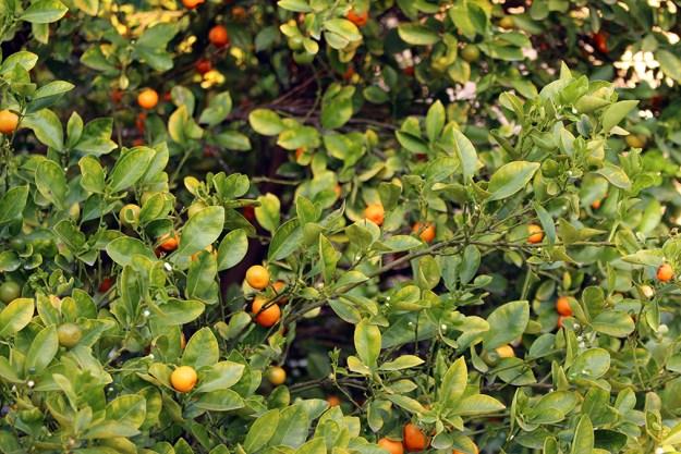 growing kalamansi ripe