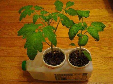 plants in water jug