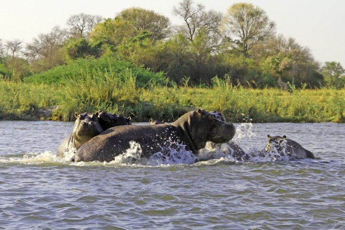 The only place to spot Hippo is in the Caprivi