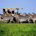 Many Zebra in Tanzania